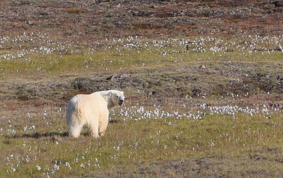 A polar bear near Thule, NW Greenland. Note the decidedly chubby back end on this bear, who looks well prepared for winter. Photo by Robin Davies. [details at my Quote Archive, Featured Quote #6]