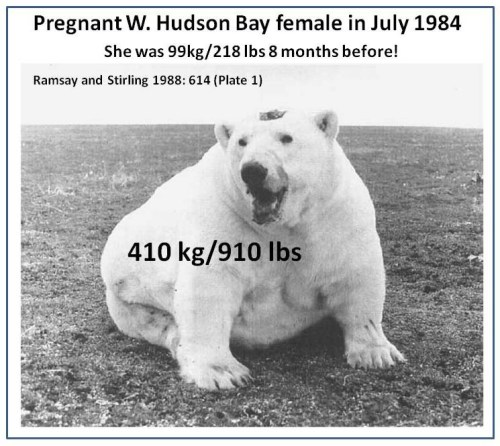 Figure 6. The female above had three cubs-of-the year in November of 1983 and weighed only 99 kg – by the following July she had either weaned those cubs or, more probably, lost them all and was pregnant again. By July 1984, she'd recovered and was weighed at 410 kgs. But as fat as this female was, it was nowhere near the fattest on record for Western Hudson Bay: Derocher et al. (1992) documented one pregnant female that weighed 505 kg on 21 September between 1982 and 1990. From Ramsay and Stirling 1988:614-615).