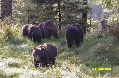 Coastal brown bears from Admiralty Island, southeast Alaska. See previous post here.