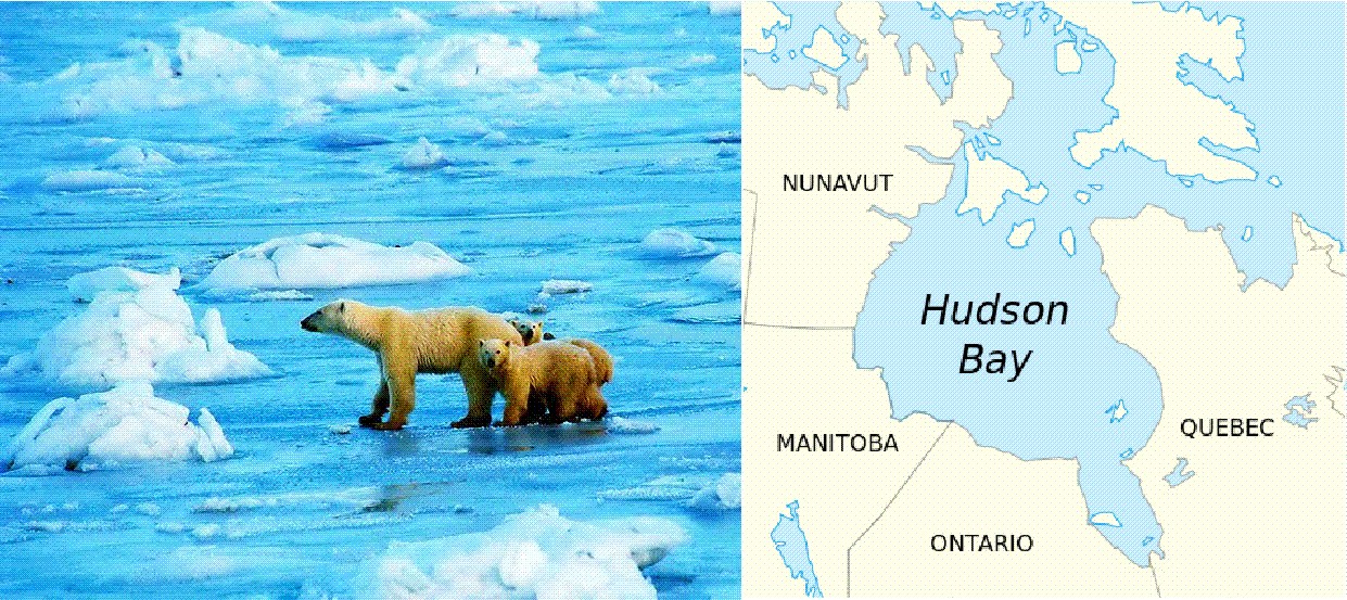 How Long Have Polar Bears Lived In Hudson Bay