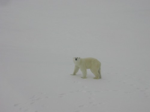 A lone polar bear walking on ice [Kathy Crane (NOAA) photo].  We'll call this a metaphor for the expulsion of Mitch Taylor from the PBSG after the Group switched from emphasizing unregulated over-hunting as the primary threat to polar bear conservation to global warming.