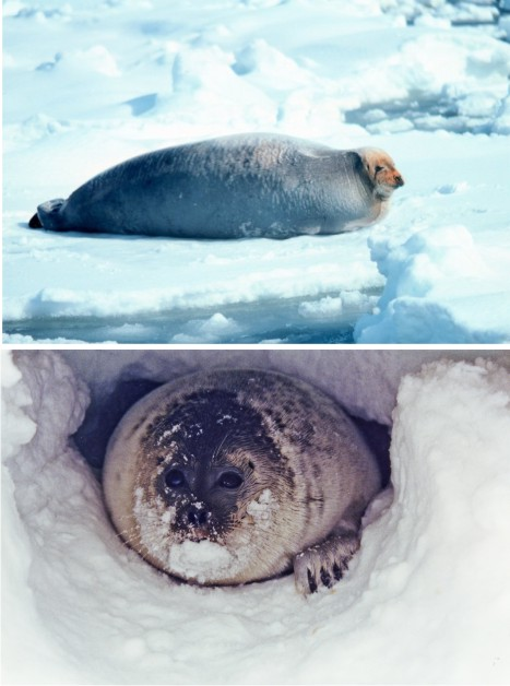 NOAA photos of bearded seal (top) and ringed seal (bottom)