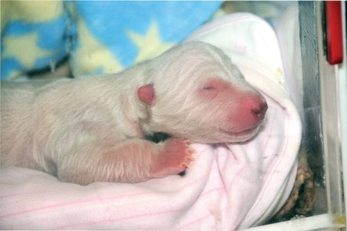 Figure 1. Toronto Zoo newborn, one day old. This cub was hand-reared. More images here