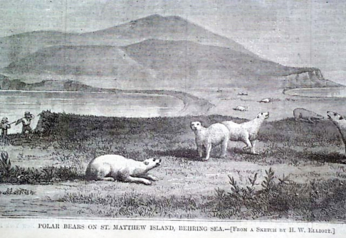 Figure 2. A drawing of polar bears on St. Matthew Island that accompanied the May 1, 1875 Harper's Weekly Journal of Civilization article written by Henry Elliot. See here.