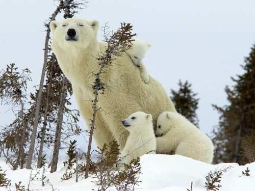 Polar Bear-Cubs-Canada_Wallpaper