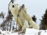 Polar Bear-Cubs-Canada_Wallpaper