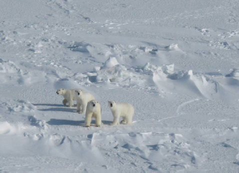 "Figure 4. Female Chukchi Sea polar bear with one and a half year old (""yearling"") triplet cubs. From internal report by Rode and Regehr (2010:4)."