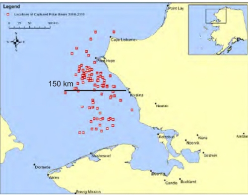 Figure 2. Locations of polar bears captured in the eastern Chukchi Sea between 2008 and 2010 by the US Fish and Wildlife/US Geological Survey's Chukchi Sea research teams. Note none of the captures was further from shore than about 150 km. Adapted from map provided in Polar Bear News 2010 (distance added, based on scale provided). See how this compares to the entire Chukchi subpopulation boundaries as defined by the Polar Bear Specialist Group (PBSG), below.