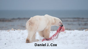 "Figure 2. A large male bear with the remains of a cub he stole from a female, killed, and ate near Churchill on November 20, 2009 and witnessed by tourists on a Frontier's North Adventures tundra buggy (taken by professional photographer Daniel J. Cox, Natural Exposures.com). Notice that while this bear is on the lean side, he is not skin-and-bones - it was never claimed that he was ""starving."" From a CBC (Canada) news report on Dec. 3, 2009, discussed in detail below, just days after Polar Bears International issued a press release about this incident, with photos and video taken by Cox."