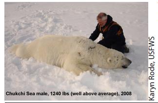 Chukchi male 1240 lbs labeled Durner 2008