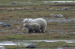 Figure 6. James Bay polar bear female and her cub during the ice-free period. Notice how fat they both are. Courtesy Ministry of Natural Resources, News Ontario, June 2, 2009.