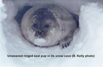 Ringed seal pup in snow cave