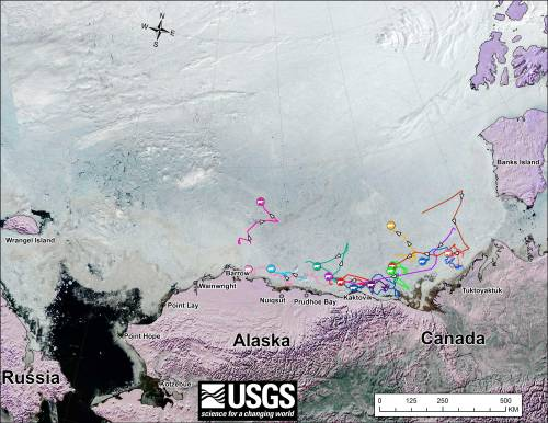Figure 2. Movements of 13 satellite-tagged polar bears for the month of June, 2013. Polar bears were tagged in 2013 on the spring-time sea ice of the southern Beaufort Sea. Three bears followed here don't appear in the July track – their collars might have stopped working or fallen off (most likely), they might have left the area entirely (also possible) or they might have died. The researchers don't say [no caption provided for original]. Click to enlarge.