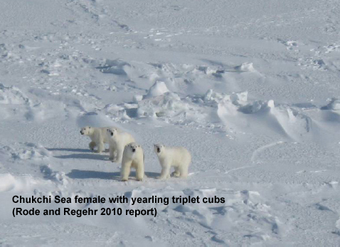 How and why great news about Chukchi polar bears has been suppressed (1/3)