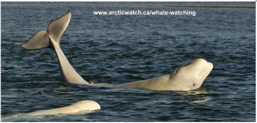 Belugas at arcticwatch_with address