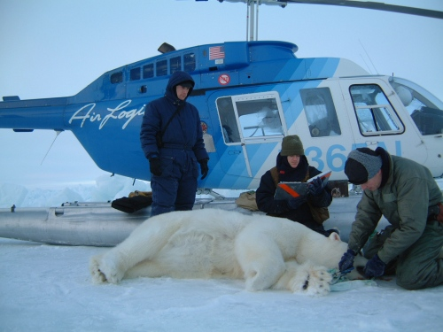 Figure 3. Arctic research routinely includes helicopters and the jet fuel to fly them. Here biologists work on a bear October 24, 2001, probably somewhere in the Southern Beaufort. Steve Amstrup photo, USGS. Courtesy US Fish and Wildlife Service.