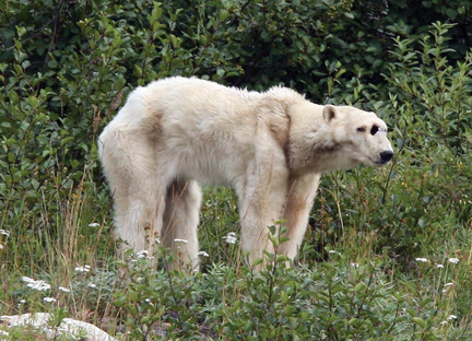 Figure 1. Starving polar bear in Ungava Bay, Labrador, 2007 (160 km inland). Heiko Wittenborn photo. Story from February 13, 2013.  This is not the usual state of western Hudson Bay polar bears in the fall.