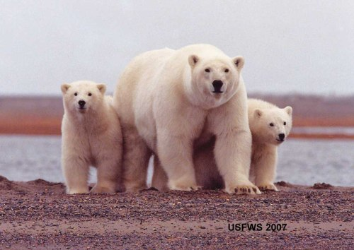 A Southern Beaufort female with cubs, from the fall of 2007. Note how fat they all are.