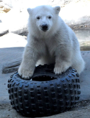 Hudson the polar bear cub moved in January 2013 from the Toronto Zoo, where he was hand-raised after being rejected by his mother, to the Assiniboine Park Zoo, Winnipeg. The Assiniboine Park Zoo were also the recent recipients of a cub orphaned when its mother was shot in the aftermath of a polar bear attack in Churchill.