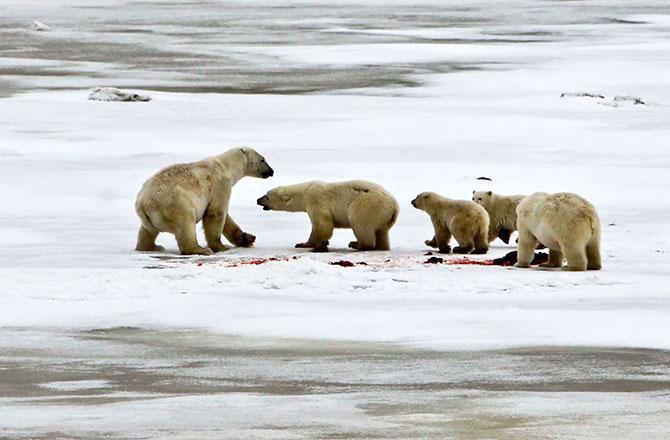 Mike Lockhart Photo Polar Bears International Discovery News Story
