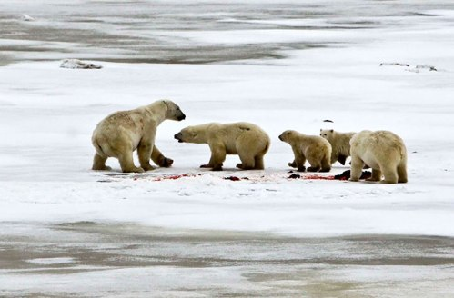 Figure 1. Female with 2 cubs turns on an adult male (far right) that she had been happily feeding with moments before. Mike Lockhart photo, Polar Bears International and Discovery News.