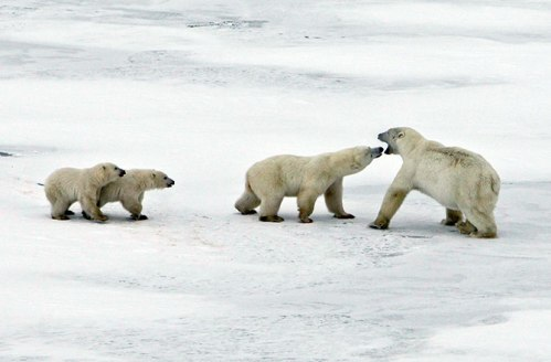 Figure 2. Female with 2 cubs fights off the male (now on the right) and drives him away from the seal he killed. Mike Lockhart photo, Polar Bears International and Discovery News.