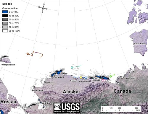 "Figure 2. From original caption: ""Movements of 7 satellite-tagged polar bears for the month of December, 2013. Polar bears were tagged in 2013 on the spring-time sea ice of the southern Beaufort Sea. All 7 of these bears have satellite collar transmitters."" Note that the dots with the polar bear icons are the end points (end December), while the other end of the string is their position in early December. The same females were present in November. See the complete December post here."