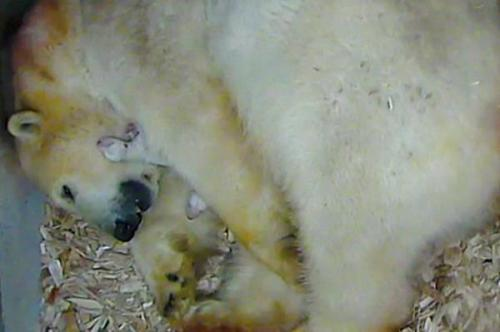PB newborns birth_11PolarBearTwins2_Zoo screen cap