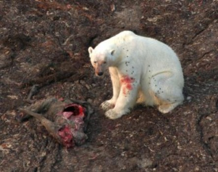 "Figure 1. Polar bear feeding on a caribou carcass, taken July 26, 2010. This photo was included in one of the papers cited in the January 2014 press release (Gormezano and Rockwell 2013:3518) and was clearly taken from the air. The caption in the paper says simply, ""a polar bear looks up from the recently killed caribou it was eating,"" so the bear may not have killed the caribou – some other predator (wolf or grizzly) may have made the actual kill. The dark spots on the bear appear to be flies. Credit Copyright American Museum of Natural History/ R. Rockwell."