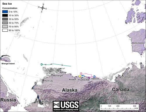 "Figure 1. From original caption: ""Movements of 5 satellite-tagged polar bears for the month of January, 2014. Polar bears were tagged in 2013 on the spring-time sea ice of the southern Beaufort Sea. All 5 of these bears have satellite collar transmitters."" Note that the dots with the polar bear icons are the end points (end January), while the other end of the string is their position in early January. There were two fewer females present in January than there were present in November and December. Click to enlarge."