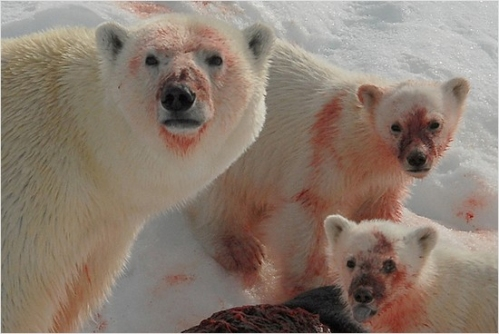 Figure 1. How do polar bears look so clean most of the time when they get this bloody on a regular basis? They wash up! [This picture is not from Stirling's paper].