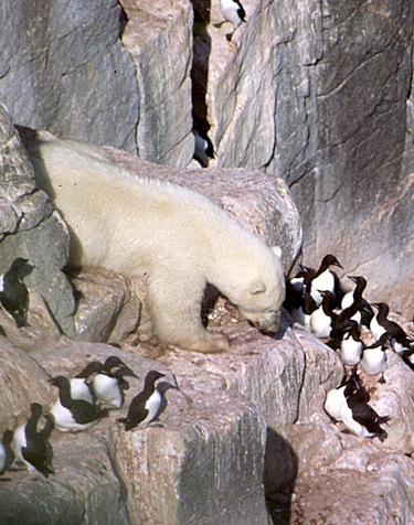 Figure 6. Healthy-looking polar bear at the Cape Pembroke thick-billed murre colony on Coates Island. This photo appears as part of Fig. S1 in Iverson et al. 2014 (this image appeared in a related NunatsiaqOnline story, 8 August 2013). Kenny Woo photo.