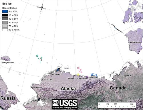 """Figure 1. From original caption: """"Movements of 5 satellite-tagged polar bears for the month of February, 2014. Polar bears were tagged in 2013 on the spring-time sea ice of the southern Beaufort Sea. All 5 of these bears have satellite collar transmitters."""" Note that the dots with the polar bear icons are the end points (end January), while the other end of the string is their position in early February. These are the same 5 females present that were present in January. Click to enlarge."""