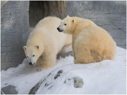 Kaska and Aurora, courtesy Assiniboine Park Zoo.