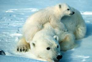 Female polar bear with cubs. (U.S. Fish & Wildlife Service/AP)