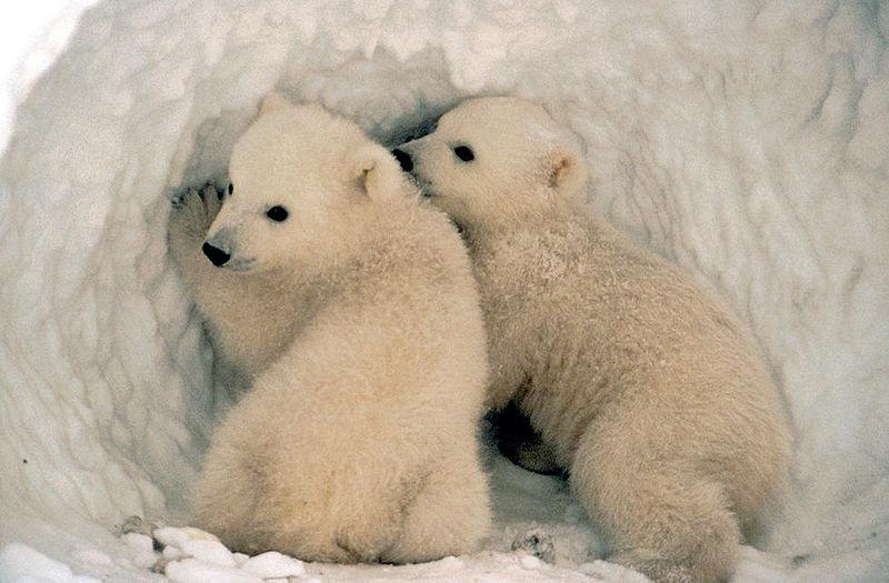 Polar bear cubs in den wikipedia