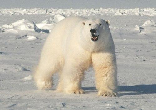 PolarBear_2008_USGS