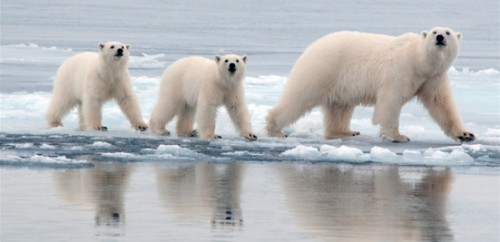 Polar bear female and her two cubs on the sea ice near Kap Tobin, Scoresby Sound, Central East Greenland (courtesy Rune Dietz, Aarhus University).