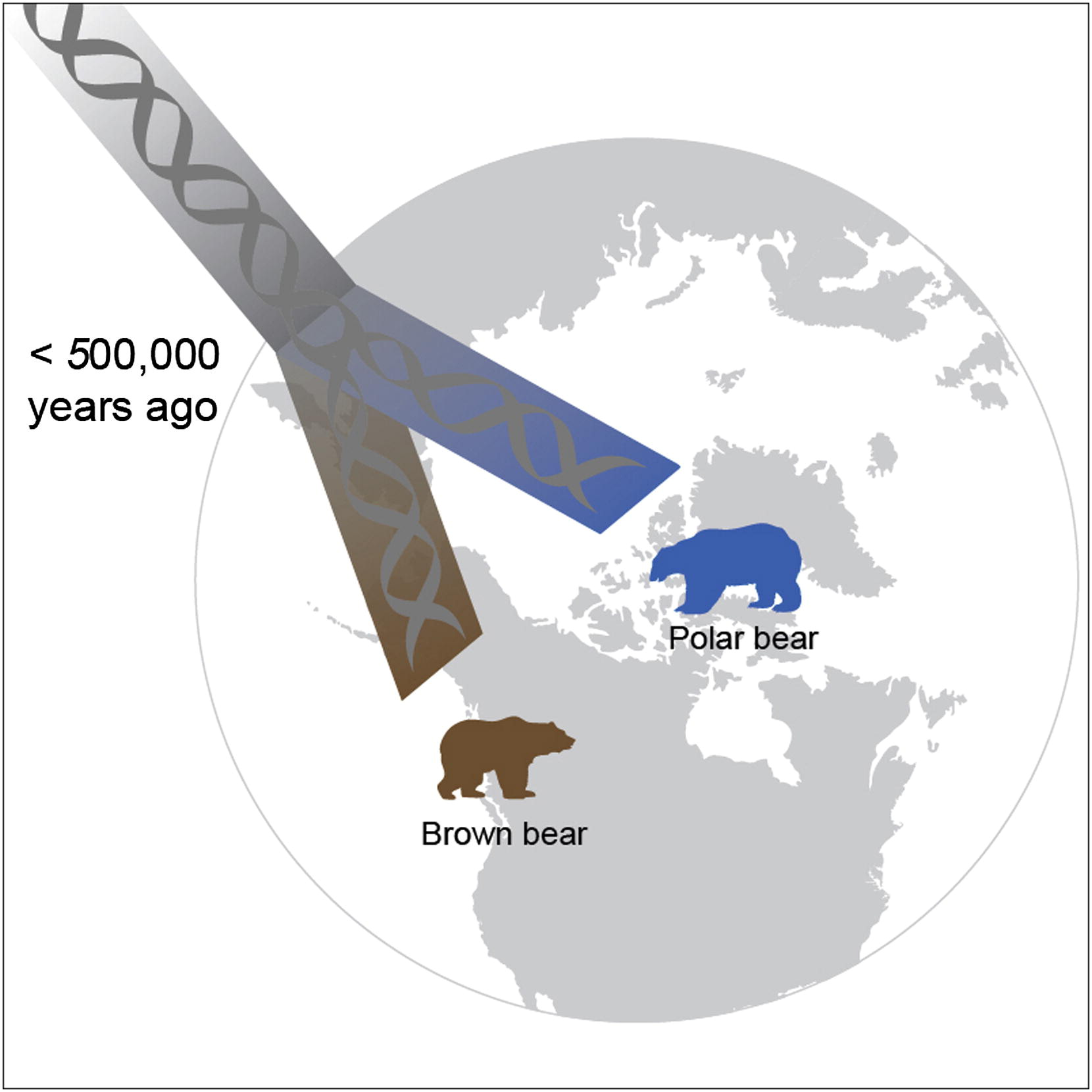 polar bear evolution Climactic changes might currently be threatening the survival of polar bears ( ursus maritimus), but similar shifts appear to have played an.