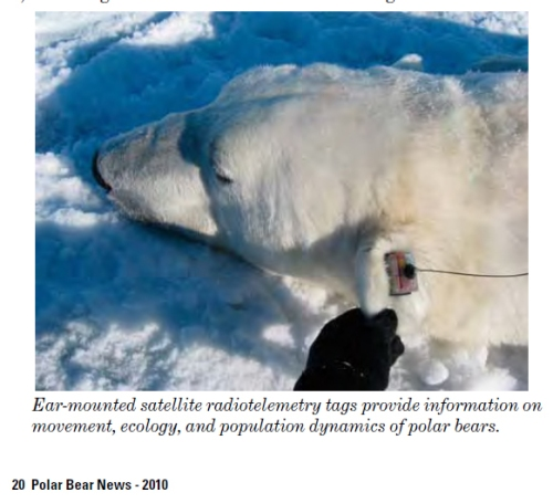 Polar bear ear tag_USFWS_PolarBearNews2010