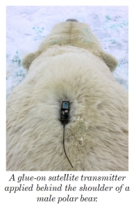 "From the 2013-2014 issue of  ""Polar Bear News"" (USFWS)."