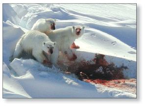 Figure 2. Female and cubs feeding on the ice. USGS photo.