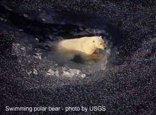 pbear_swimming_USGS