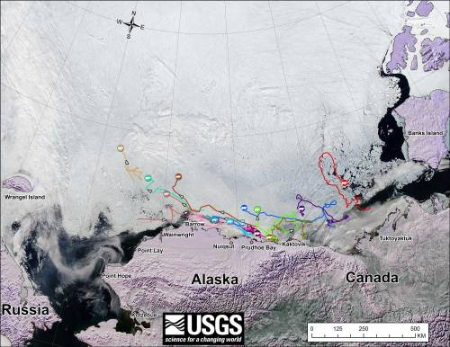 Figure 1. From original caption: Movements of 14 satellite-tagged polar bears for the month of June, 2014. Polar bears were tagged in 2013 and 2014 on the spring-time sea ice of the southern Beaufort Sea. All fourteen of these bears have satellite collar transmitters. Polar bear satellite telemetry data are shown with MODIS [sea ice] imagery from 21 June, 2014.  Click on the above image to enlarge.