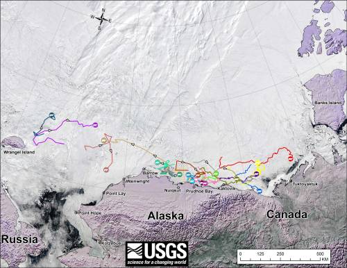 "Figure 2. From original USGS caption: ""Movements of 20 satellite-tagged polar bears for the month of May, 2014. Polar bears were tagged in 2013 and 2014 on the spring-time sea ice of the southern Beaufort Sea. Fifteen of these bears have satellite collar transmitters and 5 of these bears have glue-on satellite transmitters. Polar bear satellite telemetry data are shown with MODIS imagery from 19 May, 2014. Click to enlarge. Original image here."