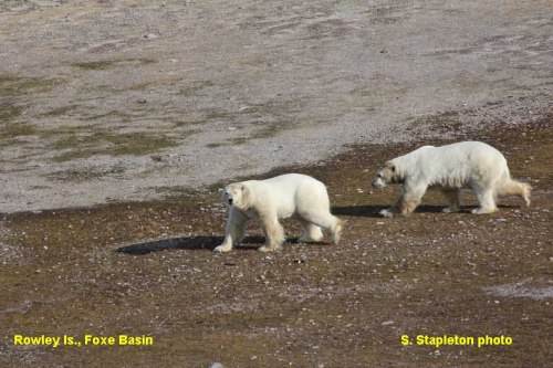 Foxe Basin polar_bears_rowley_island_Stapleton 2012 press photo labeled sm