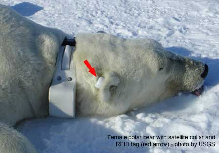Polar bear with collar and tag_USGS_labeled