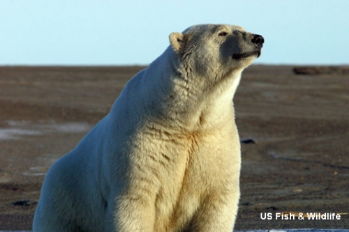 polar-bear_USFWS labeled
