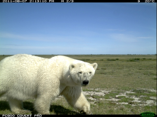 Polar bear at Wapusk National Park (just south of Churchill) in August 2011. Courtesy Parks Canada.