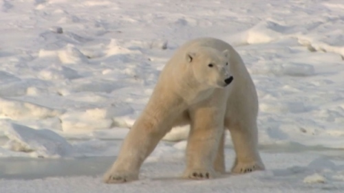 polar-bears_CBC news_Aug 28 2014